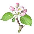 Apple Tree Flower  by Ioan Panaite