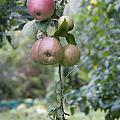 Apple Tree In Allotments In Utrecht Netherlands by Ronald Jansen