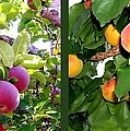 Apples And Apricots by Will Borden