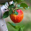 Apples Hanging In The Orchard by Teri Virbickis