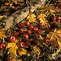 Apples In Fall by Ron Sanford