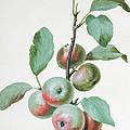 Apples by Pierre Joseph Redoute