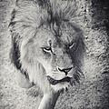 Approaching Lion by Dirk Wuestenhagen