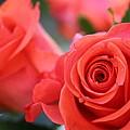 Apricot Beauty by Judy Palkimas