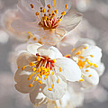 Apricot Blooms by Diana Powell
