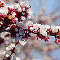 Apricot Blossoms Popping by Mike and Sharon Mathews