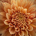 Apricot Dahlia by Joan Wallner