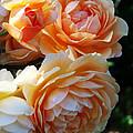 Apricot Dahlias by Kathy McClure