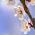 Apricot Flowers by Marc Garrido