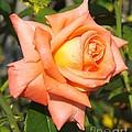 Apricot Nectar Rose by Sara  Raber