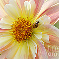 April Heather Dahlia With Ladybug by Sharon Talson