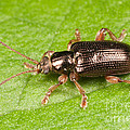 Aquatic Leaf Beetle by Clarence Holmes