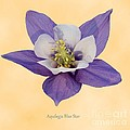 Aquilegia 'blue Star' by Archie Young