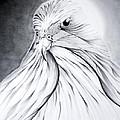 Arabian Falcon by Jalal Gilani