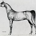 Arabian Horse Drawing 34 by Angel  Tarantella