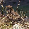 Arabian Leopard Panthera Pardus Cubs by Eyal Bartov