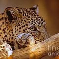 Arabian Leopard Panthera Pardus by Eyal Bartov