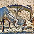 Arabian Oryx In Living Desert In Palm Desert-california by Ruth Hager