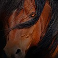 Arabian Stallion by Stephanie Laird