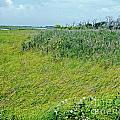 Aransas Nwr Coastal Grasses by Lizi Beard-Ward