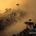 Araucaria Dawn Chile by James Brunker