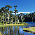 Araucaria Forest Chile by James Brunker