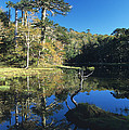Araucaria Reflections In The Chilean Lake District by James Brunker
