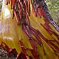 Arbutus Tree Trunk by Derek Holzapfel