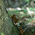 Arched Chipmunk by Neal Eslinger
