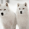Arctic Duet by Pndtphoto