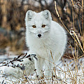 Arctic Fox by Jack Bell