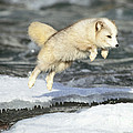 Arctic Fox Jumping by Jeffrey Lepore