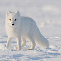 Arctic Fox Out On The Pack Ice by Steven J. Kazlowski / GHG
