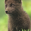 Arctic Fox Portrait Alaska Wildlife by Dave Welling