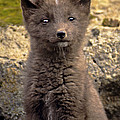 Arctic Fox Pup Alaska Wildlife by Dave Welling