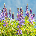 Arctic Lupine by Rich Leighton