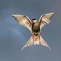 Arctic Tern by Jonas  Ottosson
