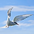 Arctic Tern Sterna Paradisaea In Flight by Liz Leyden