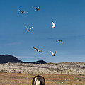 Arctic Terns With Mare And Foal by Panoramic Images