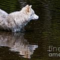 Arctic Wolf In Pond by Wolves Only