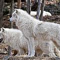 Arctic Wolf Pair by Wolves Only