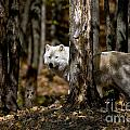 Arctic Wolf Picture 242 by World Wildlife Photography