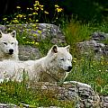 Arctic Wolf Pictures 1128 by World Wildlife Photography