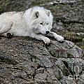 Arctic Wolf Pictures 1142 by World Wildlife Photography
