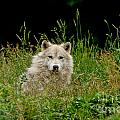 Arctic Wolf Pictures 1172 by World Wildlife Photography