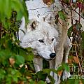 Arctic Wolf Pictures 1228 by World Wildlife Photography