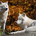 Arctic Wolf Pictures 34 by World Wildlife Photography