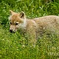 Arctic Wolf Pictures 341 by Wolves Only