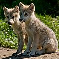 Arctic Wolf Pictures 346 by Wolves Only