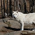 Arctic Wolf Pictures 512 by World Wildlife Photography